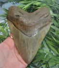 6 3/16'' MEGALODON SHARKS TOOTH IMPRESSIVE!! / FOSSIL SHARKS TEETH TOOTH