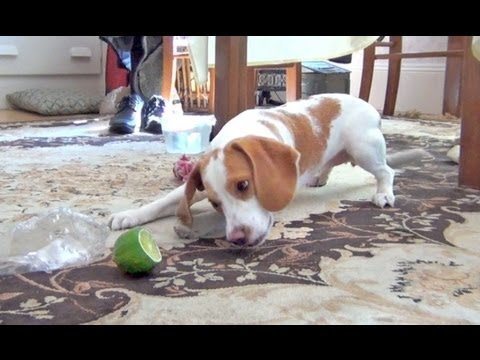 Cute Puppy vs. Lime      Ridiculously cute video of Penny the puppy battling a lime. It's clear Penny, a lemon beagle puppy, has learned some tricks from her famous brother, cute dog Maymo in the art of lime-extermination. Wait until the end to see Penny's derp-tongue. Watch Maymo teaching Penny how to play with a li...
