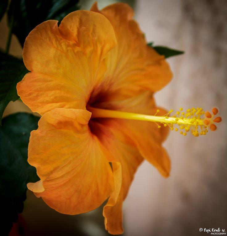 Orange Hibiscus © Popi Kmb