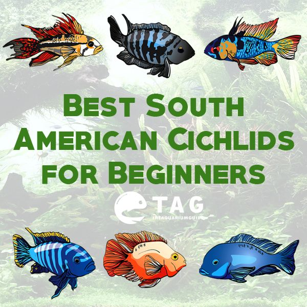 Best South American Cichlids for Beginners. The following species are the easiest to keep, as they will not grow too large and have easy to achieve water parameters. They are also the least aggressive among all cichlids.