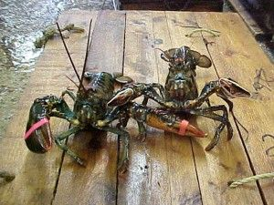 Order Live Maine Lobster - Best Maine Lobster CLICK HERE NOW TO LEARN MORE - http://www.bestmainelobster.net/order-live-maine-lobster/