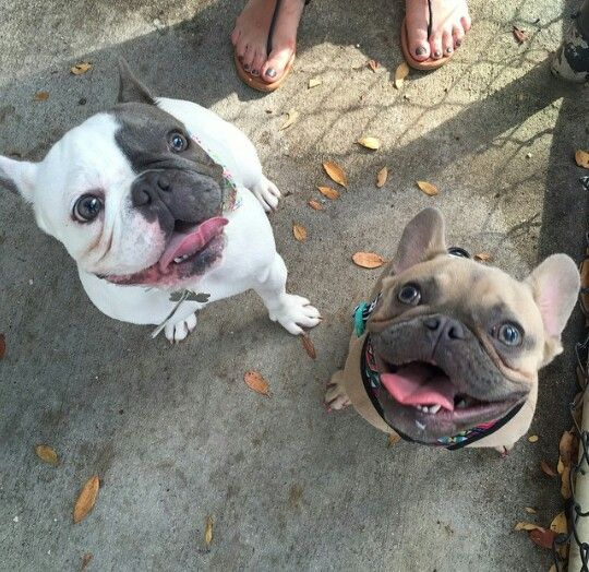Adorable French Bulldogs