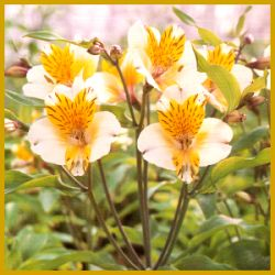 """Inkalilie, eine #Schnittblume mit wunderschönen Blüten.  Mit den """"richtigen"""" #Lilien hat die #Inkalilie (Alstroemeria) nichts zu schaffen – wenn man einmal von den wunderschönen Blüten absieht.  http://www.gartenschlumpf.de/inkalilie/"""