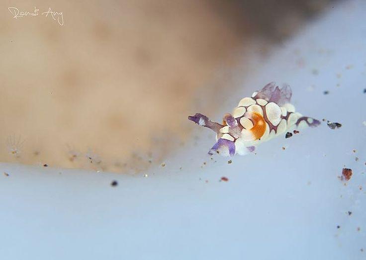 Trapania scurra Taken at Seraya Secret #tulamben #bali #indonesia #dive_indonesia #scubadiving #scubadiverid #scubadive #scuba_labs #underwater #underwater_indonesia #underwaterphotography #marinelife #marinebiologyshots #padi #sealife #seacsub #water_of_our_world #igers #ig_nesia #igersdivers #instalike #instagood #instagram #instadiver #instadiver_id #like4like #nudi #nudibranch #seaslug