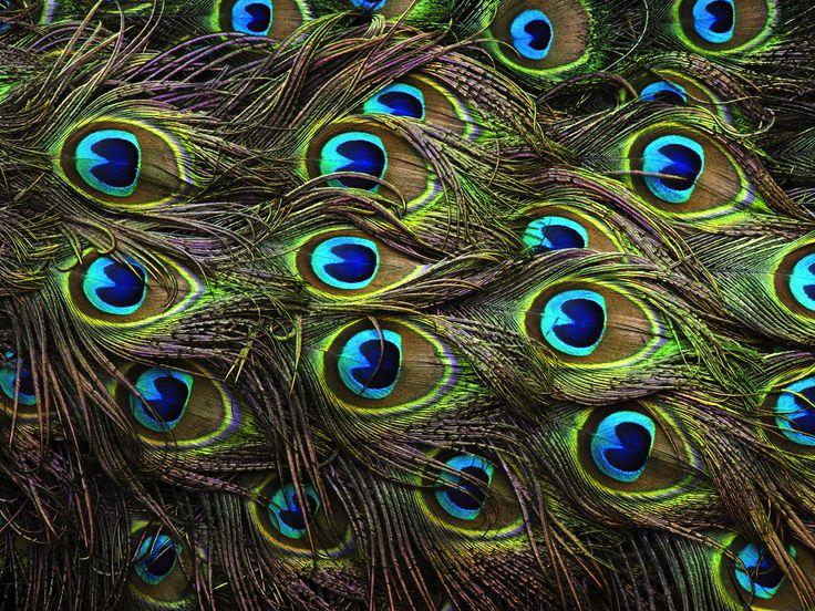 Tim: Påfuglefjer
