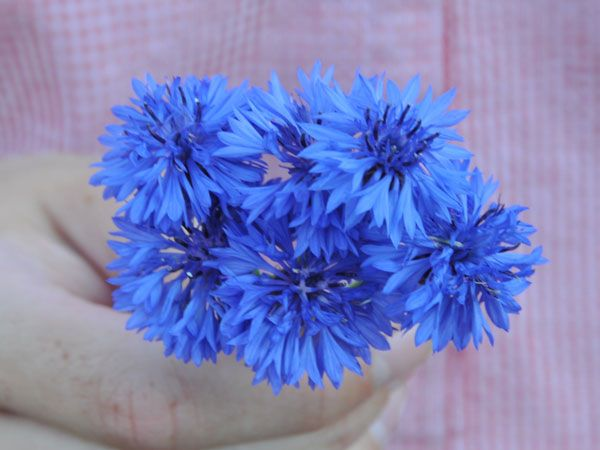 Colorful blue, double flowers on tall 3' plants, bloom all season. Very easy to grow. It is a self-seeding annual, so you will not have to replant.