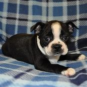 Check out Bravo - Cutest Boston EVER! Boston Terrier puppies for sale in PA at AA Ridgewood Kennels II with lifetime warranties! Boston breed info and boston terrier puppies for sale