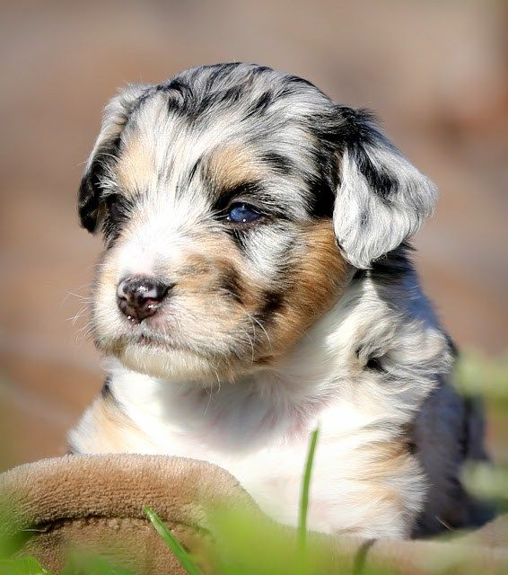 Our Recommended Aussiedoodle Breeders List Australian Shepherd