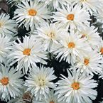 double blooming white daisy.  good for zone 3 .  order next year.  blooms in late summer, I believe.