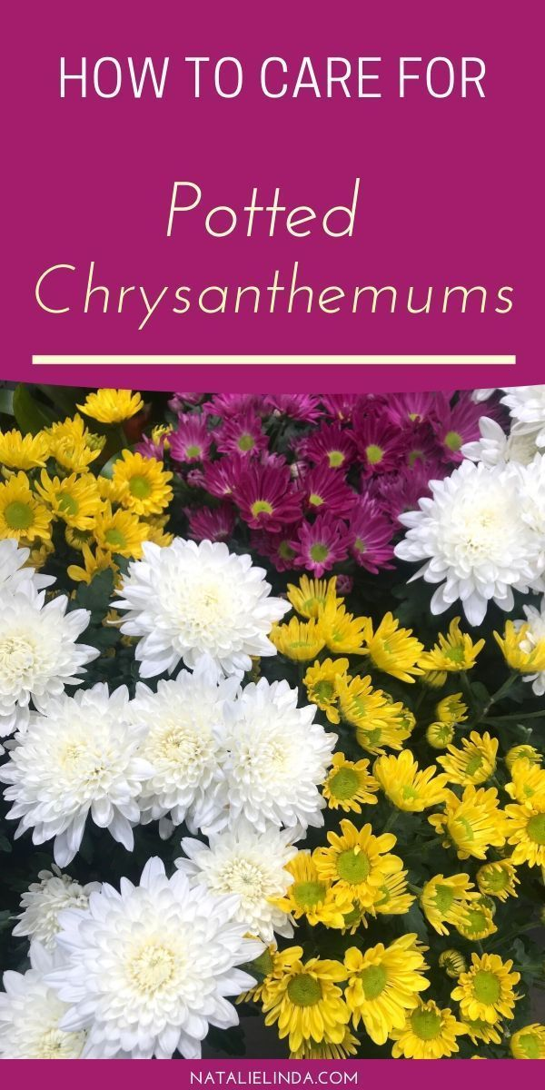 How To Care For Chrysanthemums Flower Garden Growing Tips In 2020 Potted Mums Chrysanthemum Care Flower Garden Care