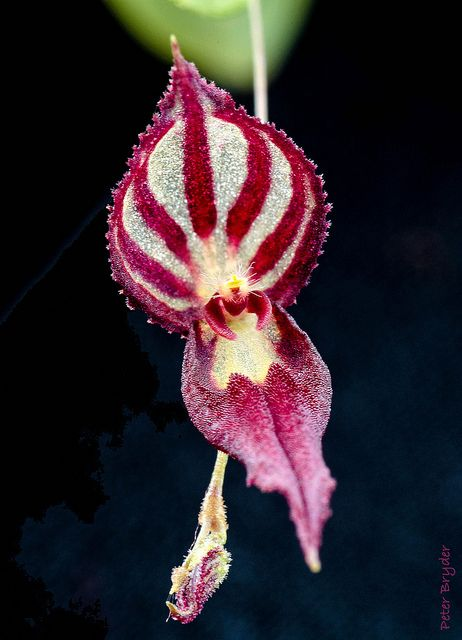 Lepanthes katleri, an Epiphytic Orchid from Cloud Forests of Brazil / Peru, Luscious  Luxurious Beauty