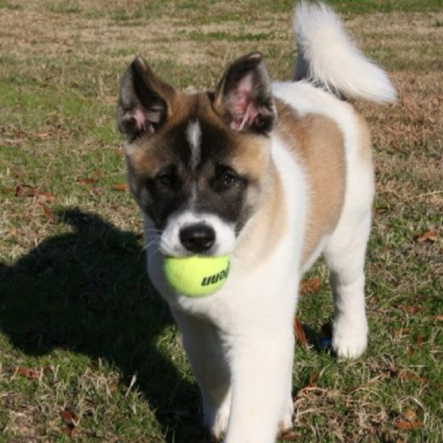 Princess Leia ~ Akita Puppy