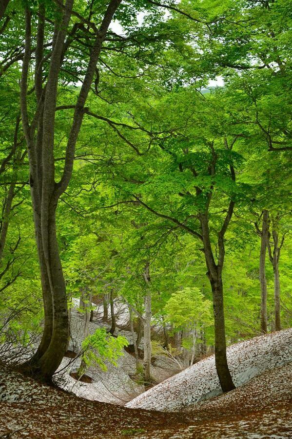 残雪のブナ林。若葉の色。