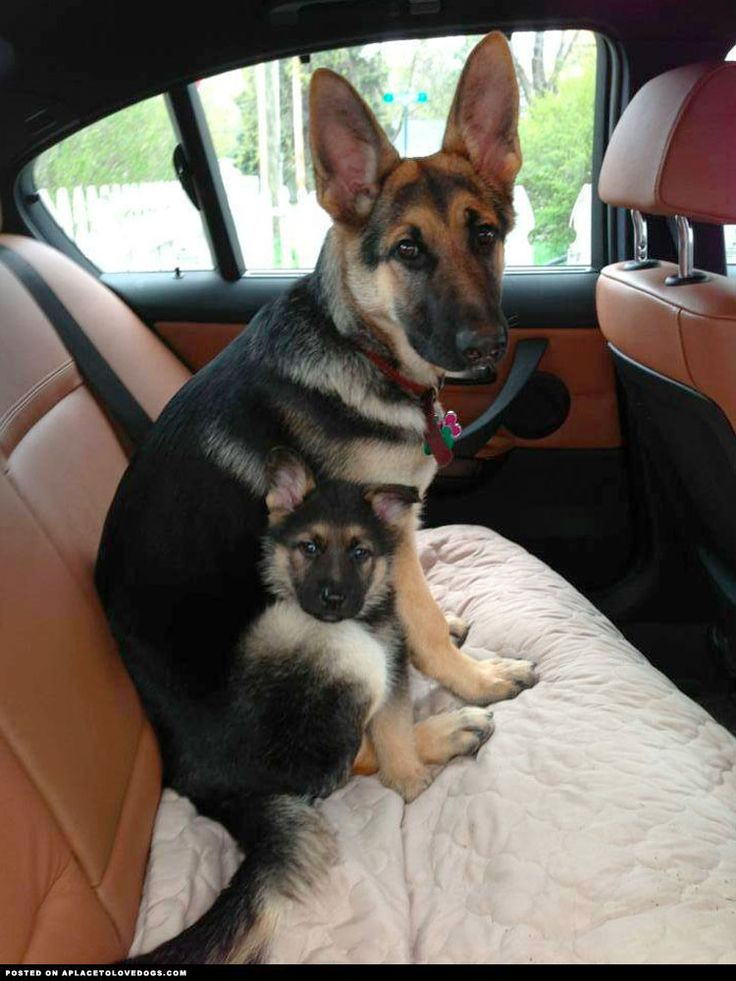 Adorable German Shepherd Pups ::: Visit our poster store Rover99.com