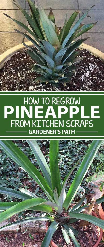 Would you like to grow a beautiful plant that's virtually free? Pineapple plants are easy to grow from a part of a grocery-store fruit you would normally relegate to the compost bin. Learn how to prepare, grow, and nurture your own beautiful tropical plant in this article from Gardener's Path that's all about rebirth.