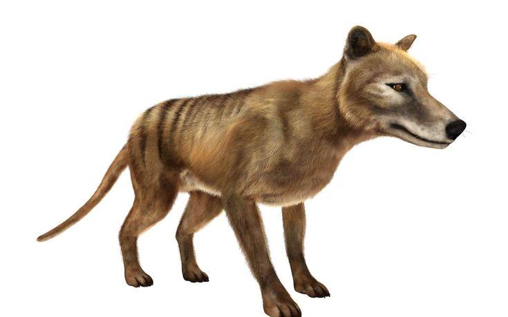 Le tigre de Tasmanie a-t-il vraiment disparu ? Le tigre de Tasmanie est une espèce considérée comme éteinte depuis des décennies, mais des chercheurs veulent en avoir le cœur net suite à des... http://www.futura-sciences.com/planete/actualites/zoologie-tigre-tasmanie-t-il-vraiment-disparu-15582/#xtor=RSS-8