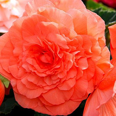 Begonia (Tuberous): For sizzling color in pots and hanging baskets, it's hard to beat these perennials. Flowers come in every shade but blue.