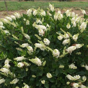 Sugartina™ Clethra Mid To Late Summer Color, Fragrant White Flowers.  Compact Size.