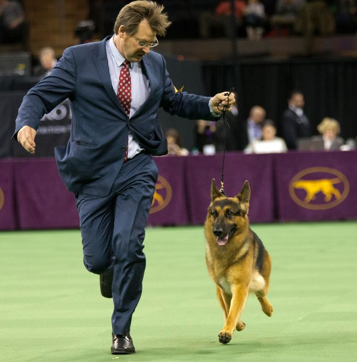 Rumor the German Shepherd Wins Best in Show at the Westminster Dog Show
