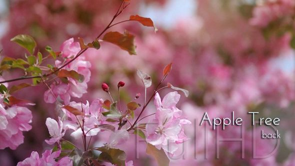 Blossoming Apple Tree in Spring Garden video footage by cinema4design, Pink Flowers in Beautiful Garden.