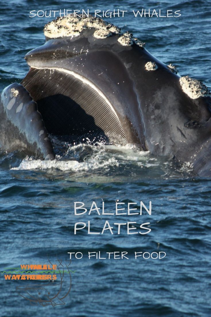 Southern Right whales catch their food using bristles called baleen They open their mouths to let water in and then raise their tongue to force water out. As the water passes through the bristles, they retain any animal which the whale then swallows.