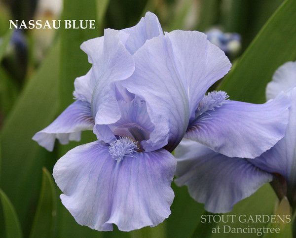 Iris NASSAU BLUE | Stout Gardens at Dancingtree