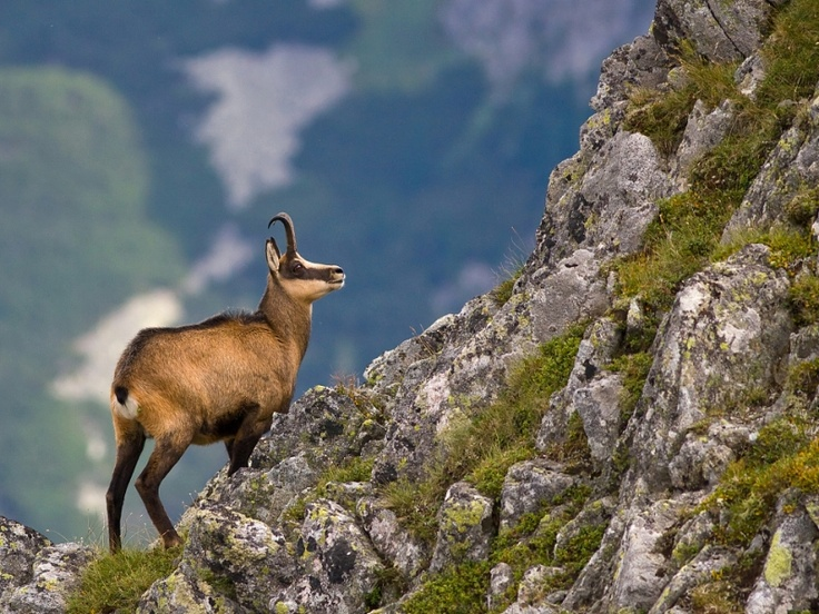 Tatra chamois – a unique sub-species of goat-antelope found in the Slovak mountains