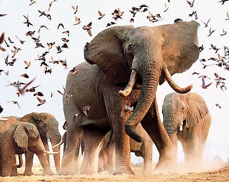 African Elephants..the beauty of them!