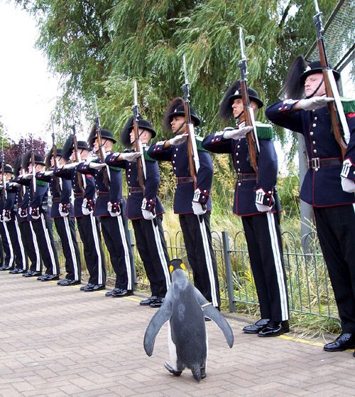 """""""thedailywhat:  Fun Fact of the Day: """"Colonel-in-Chief Sir Nils Olav is a King Penguin living in Edinburgh Zoo, Scotland. He is the mascot and Colonel-in-Chief of the Norwegian King's Guard…On August 18, 2005, he was promoted to Colonel-in-Chief and on 15 August 2008he was awarded a knighthood. He is the first penguin to receive such an honour in the Norwegian army."""" [h/t: reddit.]   """""""