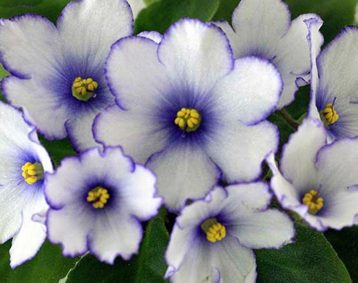 BR Arktika African Violet Plant Mini Russian Variety | eBay