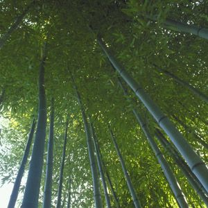 Bambusa multiplex 'Alphonse Karr' (hedge bamboo): Up to 20 feet tall; good for containers; clump-forming habit. Zones 8–10.