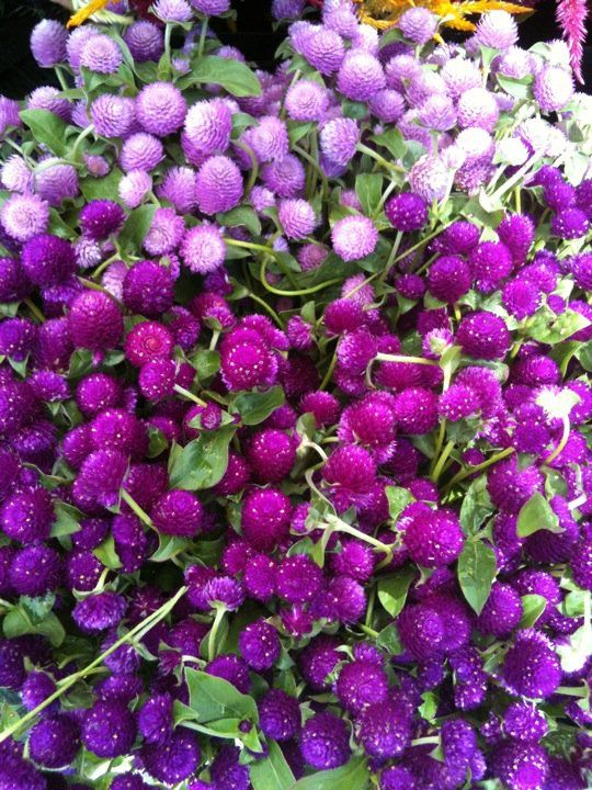 Fall flowers - Globe amaranth: Amaranth Flower, Fall Flowers, Purple Fall Flower, Shades Of Purple, Color, Southern Gardens, Globes Flower, Amaranth Purple, Globes Amaranth