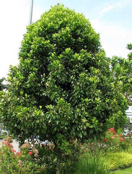 nutmeg tree - Google Search