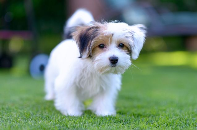 Malteagle Puppies Dogs Training Your Dog