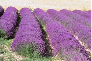 How to Grow Fragrant Lavender Plants in a Yard in Florida   eHow