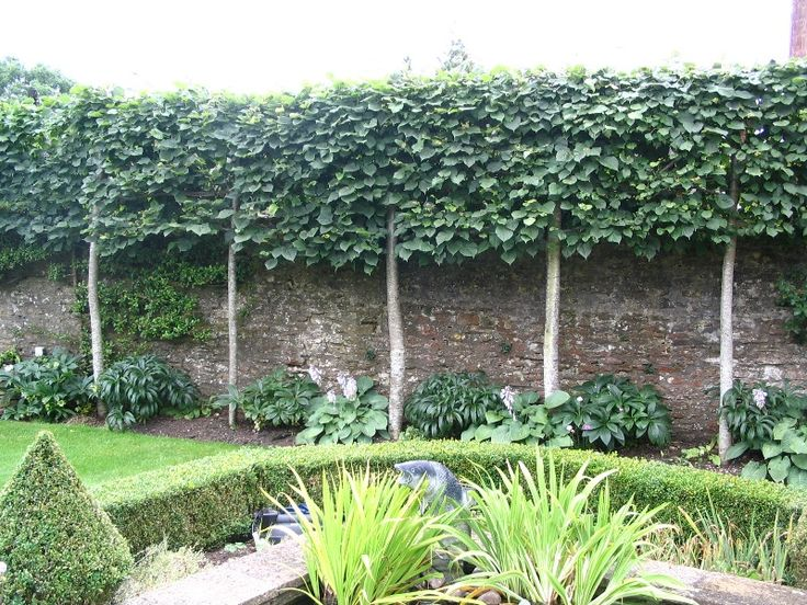 Flat plane pleached lime trees being used to raise the height of the boundary wall - nice idea