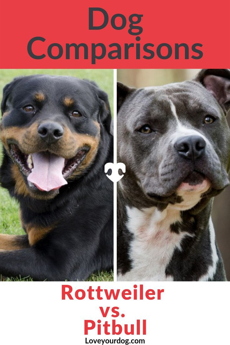 Rottweiler Vs Pitbull Breed Comparison Differences