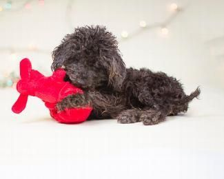 Meet PIPER, an adoptable Poodle looking for a forever home. If you're looking for a new pet to adopt or want information on how to get involved with adoptable pets, Petfinder.com is a great resource.