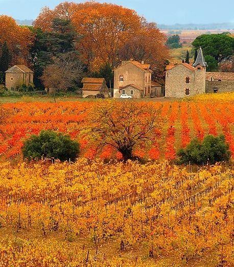 Autumn Vineyard, Provence, France.