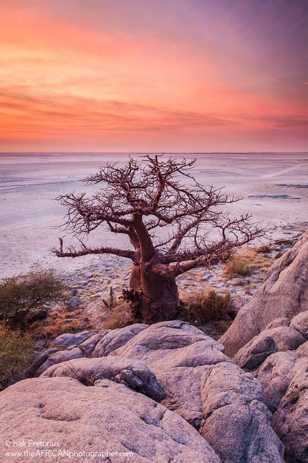 """"""" Baobab Landscape""""on Kubu Island in Botswana by Isak Pretorius Wildlife Photography"""