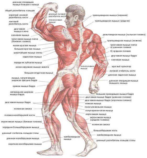 КАК ЗАЩИТИТЬ МЫШЦЫ ОТ РАЗРУШЕНИЯ?   Из учебников физиологии известно, что в организме здорового мужчины не занимающегося спортом за сутки обновляется до 100 г белков. Таким образом тренируетесь вы или нет, мышцы все равно непрерывно разрушаются и растут. Естественно, у атлетов эти процессы протекают более активно. Если постараться минимизировать разрушение мышц и создать идеальные условия для их роста, у вас появляется шанс получить красивую атлетичную фигуру.  Повлиять на нормальный процесс…