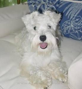 I never knew white schnauzers existed!  We had a salt & pepper schnauzer named snuffy when I was little.