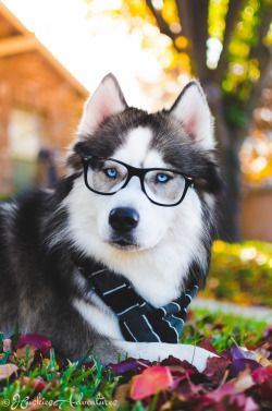 "huskiesadventures: "" You see,,,, Zeus isn't your everyday dog. He's smarter than your average Siberian Husky and also happens to dress very classy. """