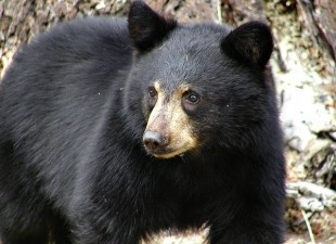 Protect Black Bear Habitat Along the Mississippi | Please SIGN and share petition. Thanks.