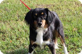 Conway, AR - Border Collie Mix. Meet Jersey, a dog for adoption. http://www.adoptapet.com/pet/16990019-conway-arkansas-border-collie-mix