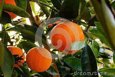 Naranjas - Descarga De Over 44 Millones de fotos de alta calidad e imágenes Vectores% ee%. Inscríbete GRATIS hoy. Imagen: 72668094