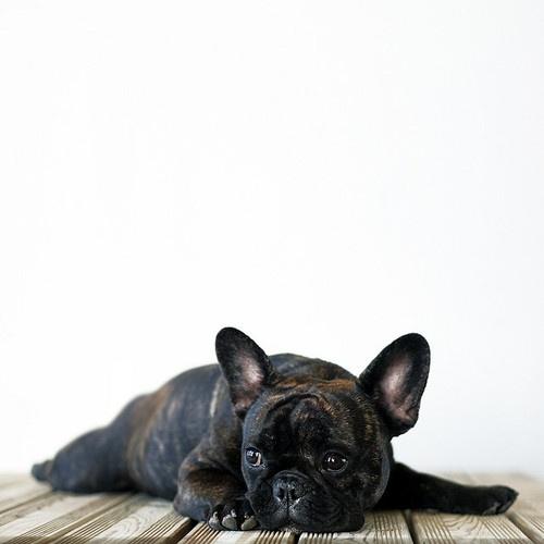 .Black French Bulldogs Puppies, Frenchie Gan, Brindle French Bulldogs, Frenchbulldog, Brindle Frenchie, Baby Dogs, Bulldogs Pets, Puppies Frenchie, Adorable Animal