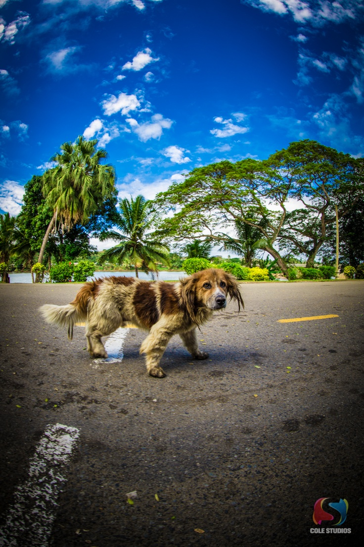 An old dog we came across whilst photographing a Wedding in Fiji. The locals look after him but god did the poor old fella need a bath. We gave him a feed which he seemed to like, but was not that fussed as everyone feeds him! He was very friendly too.