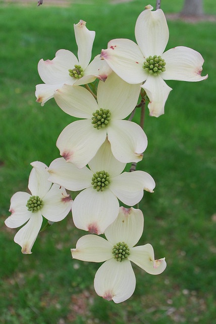 Dogwood Flowers by KnoxvilleRob, via Flickr