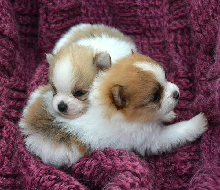 Precious Pomeranian Puppies Cute Animals Baby Dogs Cute Dogs